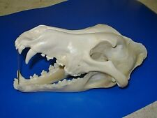 Genuine -  WOLF SKULL  -  Antler  Skeleton Trap Mount Bone