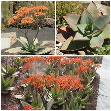 10 semi di Aloe striata, piante succulente, piante grasse