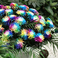 100Pcs Rare Rainbow Chrysanthemum Flower Seeds Special Tricolor Flower