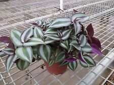 """Purple Wandering Jew - 4"""" Hanging Pot - Easy to Grow House Plant"""