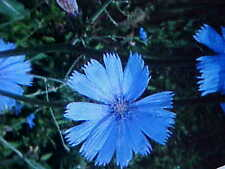 1000 CHICORY FLOWER SEEDS PERENNIAL  + BUY-1-GET-1-FREE