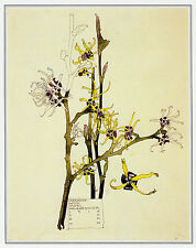 Japanese Witch Hazel, Charles Rennie Mackintosh 10 x 12 inch ready mounted print