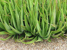 "3 X Aloe Vera Plants Medicinal Barbadensis Anti Burn Cactus Herb 6"" pups lot"