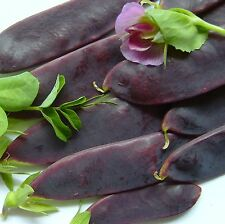 SNOW PEA - SHIRAZ - 24 Seeds [..red-wine-coloured, flat, mangetout sugar-pods]