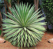 Agave angustifolia variegated @ exotic succulent rare cactus seed plant 30 SEEDS
