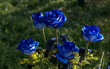 Rose Seeds - BLUE ON BLUE - STUNNING PERENNIAL ROSE - Winter Hardy - 10 Seeds
