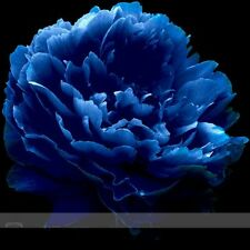 'Luo Yang' Dark Blue Tree Peony Flower Professional Pack, 5 Seeds,plant Garden