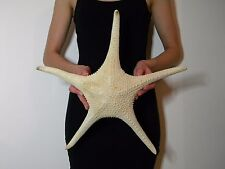 Starfish , Sea Shells, 445mm huge starfish ID#3443