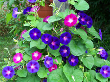 morning glory mix, red/ blue flowers, 20 SEEDS! GroCo
