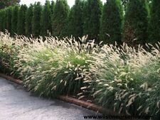 Foxtail/Fountain Grass Seeds Native Dried Flower Silver Weeping Flower Heads