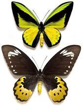 Ornithoptera: Goliath samson pair....Arfak-Irian....Indonesia....