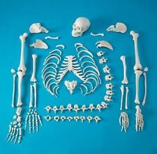 Life Size Full Disarticulated Human Anatomical Skeleton Anatomy Model w/Skull