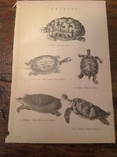 Tortoises - antique print  Circa 1880