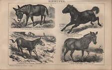 Litografía 1901: solípedos. burro Tarpan dschiggetai quagga