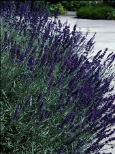 50 Lavandula Seeds Early Blue Scent ( Perennial ) Blue Lavender