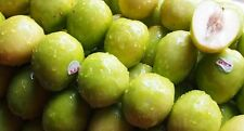 10 Fresh tropical exotic monkey apple tree/plant/fruit seeds from Asia