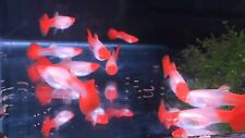5 Albino Koi Guppies Fry 1-2 Weeks Old Importante From Thailand