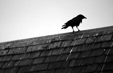 Stampa incorniciata-Black & White Crow in piedi su un tetto alto (PICTURE Bird Animale)