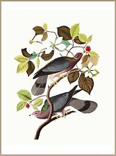 Band Tailed Pigeon Bird Birds Watching Portrait Art Poster 10 x 13.5 inches