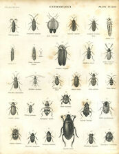 Antique print Entomology BEETLES L5  copper plate engraving - 1842