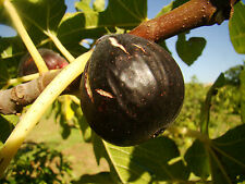 Fig Plant FICUS 'Portogallo', purple, pear shaped, SELF FERTILE, 20cm, 8cm pot