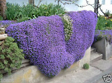 250 seeds of Cascade Aubrieta Purple flowers Rock Cress spring Spreading wall