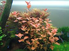 Ludwigia Repens 'Ovalis' - Freshwater Bunch Live Aquarium Plants BUY2GET1FREE*