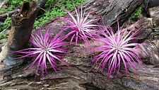 3 Tillandsia Ionantha~ Pink Passion ~ Air Plant Colorized Bromeliad Event Party
