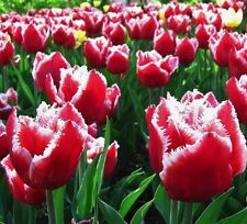Fringed Canasta Tulip Bulbs Unusual Sweet Red and White Perennials