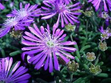 50+  ICE PLANT FLOWER SEEDS / PERENNIAL / DELOSPERMA COOPERII