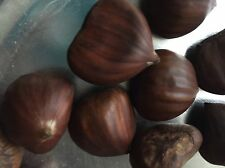 5 Mediterranean Sweet Chestnut Seeds, Edible Nut Tree, Fall 2016 Harvested