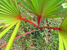 ***100 fresh  SEEDS***LATANIA LONTAROIDES***RED LATAN PALM***free shipping**