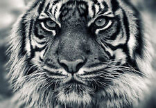 Framed Print - Majestic Face of a White Bengal Tiger (Animal Picture Poster Art)