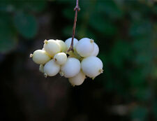 Snow Berry Bush - Live 1 Gallon Plant, Pure White Berry Clumps in Fall/Winter