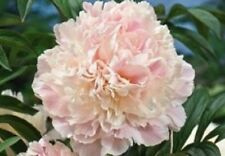 PEONY/PEONIES PLANT  SHIRLEY TEMPLE  2/3 EYES ]. SHIPPING FALL 2016