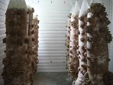 Blue Oyster mushrooms Mycelium  10.000 + fresh seeds Spores $10 ..