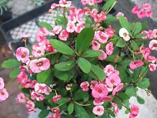 Euphorbia Milii Variegated Flowers  ( Crown of thorns) 1 plant cuttings