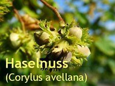 ***Haselnussöl (Corylus avellana) Europa, 100ml, Hautöl reife und trockene Haut