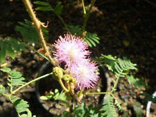 Echte Mimose (Mimosa pudica) - 200 Samen Sinnpflanze