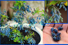 Rare and Unusual! teardrop shaped Blueberries!! BLUEBERRY 'Teardrop' SEEDS.
