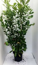 10 Cherry Laurel / Prunus Rotundifolia Hedging Plants 15L 175-200cm (6ft- 7ft)
