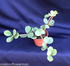 """PEPEROMIA HOPE, SUCCULENT LIKE ROUND LEAVES, UNUSUAL!  SHIPPED IN 2"""" POT"""