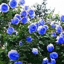 100 Blue Rosa multiflora Seeds Climbing Roses Changmi Garden Flowers PT8