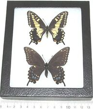 REAL FRAMED BUTTERFLIES CALIFORNIA PAPILIO POLYXENES COLORO 2 FEMALE FORMS