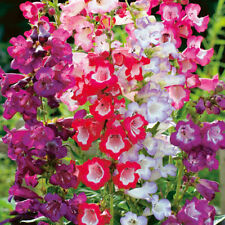 Flower seed - BEARDTONGUE - PENSTEMON - Sensation mix