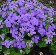 Ageratum * Floss Flower * 25+ seeds * Blue * Lavender * Old Fashioned Favorite!