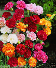 20 GRENADIN MIX Carnation ,Dianthus caryophyllus, bushy Plant For Home Garden