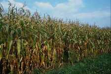 676056 Indian Corn A4 Photo Print
