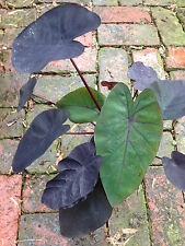 Colocasia black elephants ear MADEIRA tropical foliage taro perennial plant