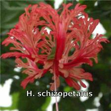 HIBISCUS PLANT X1 EXOTIC  TROPICAL PLANTS FLOWER CORAL SKELETON FRINGED